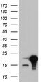 HEK293T cells were transfected with the pCMV6-ENTRY control. (Left lane) or pCMV6-ENTRY SNX12. (Right lane) cDNA for 48 hrs and lysed. Equivalent amounts of cell lysates. (5 ug per lane) were separated by SDS-PAGE and immunoblotted with anti-SNX12.