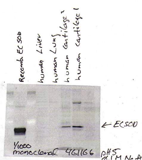 EC-SOD; (4GG11G6, Human cartilage).  This image was taken for the unconjugated form of this product. Other forms have not been tested.