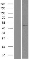 SOHLH2 Protein - Western validation with an anti-DDK antibody * L: Control HEK293 lysate R: Over-expression lysate