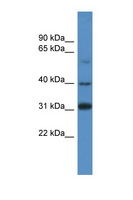 SOX1 Antibody - SOX1 antibody Western blot of 293T Cell lysate. Antibody concentration 1 ug/ml. This image was taken for the unconjugated form of this product. Other forms have not been tested.