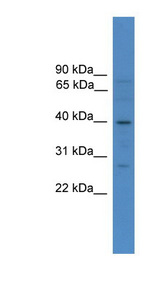 SOX1 antibody LS-C116892 Western blot of 293T cell lysate.  This image was taken for the unconjugated form of this product. Other forms have not been tested.