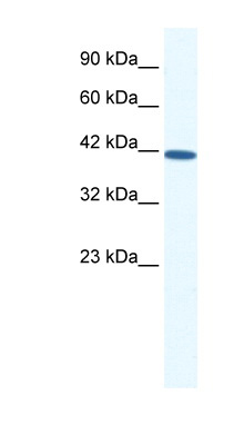 SOX11 antibody LS-B1567 Western blot of HepG2 cell lysate.  This image was taken for the unconjugated form of this product. Other forms have not been tested.