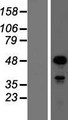 SOX18 Protein - Western validation with an anti-DDK antibody * L: Control HEK293 lysate R: Over-expression lysate