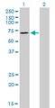 Western blot of SP110 expression in transfected 293T cell line by SP110 monoclonal antibody (M01), clone 8C8.