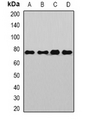 Western blot analysis of Sp110 expression in Jurkat (A); HeLa (B); mouse liver (C); rat brain (D) whole cell lysates.