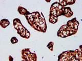 Immunohistochemistry Dilution at 1:500 and staining in paraffin-embedded human placenta tissue performed on a Leica BondTM system. After dewaxing and hydration, antigen retrieval was mediated by high pressure in a citrate buffer (pH 6.0). Section was blocked with 10% normal Goat serum 30min at RT. Then primary antibody (1% BSA) was incubated at 4°C overnight. The primary is detected by a biotinylated Secondary antibody and visualized using an HRP conjugated SP system.