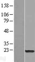 SPA17 / Sperm Protein 17 Protein - Western validation with an anti-DDK antibody * L: Control HEK293 lysate R: Over-expression lysate