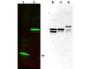 Anti-SPANX (pan) Antibody - Western Blot. Western blot of affinity purified anti-SPANX (pan) antibody shows detection of a band at ~17 kD corresponding to SPANX-C present in a nuclear extract from VWM105 cells (left panel, arrowhead). VWM105 cells are derived from a human melanoma and are positive for SPANX proteins. Lane 2 shows reactivity with a purified recombinant SPANX-C fusion protein. The right panel shows similar reactivity with purified recombinant SPANX-B, SPANX-C and SPANX-N proteins. Proteins were separated by SDS-PAGE, transferred to nitrocellulose, and probed with the primary antibody diluted to 1:1000. IRDye800 conjugated Gt-a-Rabbit IgG [H&L] MX ( was used (left). IRDye is a trademark of LI-COR, Inc. Size estimation was made by comparison to prestained MW markers as indicated. Personal Communication. Vladimir Larionov, NIH, CCR, Bethesda, MD.
