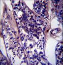 CCDC99 Antibody immunohistochemistry of formalin-fixed and paraffin-embedded human testis tissue followed by peroxidase-conjugated secondary antibody and DAB staining.