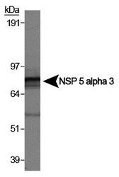 SPECC1 / CYTSB Antibody - Detection of NSP5a3a in HeLa whole cell lysate (RIPA). 0.5 ug/ml dilution, 15 second ECL detection.  This image was taken for the unconjugated form of this product. Other forms have not been tested.