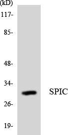 SPIC Antibody - Western blot analysis of the lysates from Jurkat cells using SPIC antibody.