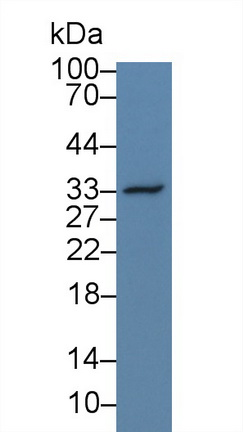 Western Blot; Sample: Human Hela cell lysate; Primary Ab: 3µg/ml Rabbit Anti-Simian OPN Antibody Second Ab: 0.2µg/mL HRP-Linked Caprine Anti-Rabbit IgG Polyclonal Antibody