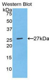 Western blot of recombinant SPP1 / Osteopontin.  This image was taken for the unconjugated form of this product. Other forms have not been tested.