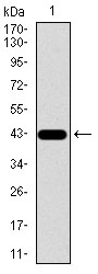 Western blot using SPP1 monoclonal antibody against human SPP1 recombinant protein. (Expected MW is 42.6 kDa)