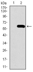 Western blot using SPP1 monoclonal antibody against HEK293 (1) and SPP1 (AA: 167-314)-hIgGFc transfected HEK293 (2) cell lysate.