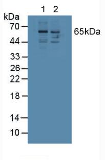 Western Blot; Sample: Lane1: Human 293T Cells; Lane2: Human Jurkat Cells.