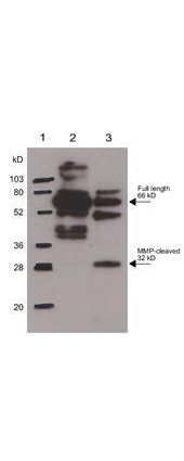 Anti-Osteopontin Antibody - Western Blot. Rabbit anti-Osteopontin was used at a 1:1000 dilution to detect Osteopontin by western blot. In lane 2, reactivity is shown against 250 ng of human osteopontin. Lane 3 shows reactivity of MMP-cleaved osteopontin. Lane 1 shows the position of molecular weight markers. Use a 1:10000 dilution of HRP conjugated Gt-a-Rabbit IgG (LS-C60865) for detection.