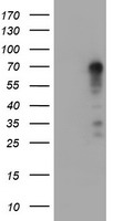 SPRING / TRIM9 Antibody - HEK293T cells were transfected with the pCMV6-ENTRY control (Left lane) or pCMV6-ENTRY TRIM9 (Right lane) cDNA for 48 hrs and lysed. Equivalent amounts of cell lysates (5 ug per lane) were separated by SDS-PAGE and immunoblotted with anti-TRIM9.