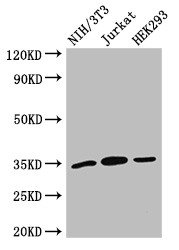 Positive WB detected in:NIH/3T3 whole cell lysate,Jurkat whole cell lysate,HEK293 whole cell lysate;All lanes:SPRY2 antibody at 2.7?g/ml;Secondary;Goat polyclonal to rabbit IgG at 1/50000 dilution;Predicted band size: 35 KDa;Observed band size: 35 KDa;