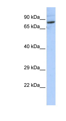 SPTLC2 antibody LS-C102311 Western blot of HepG2 cell lysate.  This image was taken for the unconjugated form of this product. Other forms have not been tested.