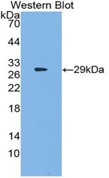 Western blot of recombinant SRF / Serum Response Factor.
