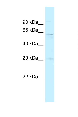 SRP54 antibody LS-C145863 Western blot of Rat Muscle lysate. Antibody concentration 1 ug/ml.  This image was taken for the unconjugated form of this product. Other forms have not been tested.
