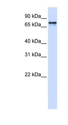 SRP68 antibody LS-C101869 Western blot of 293T cell lysate.  This image was taken for the unconjugated form of this product. Other forms have not been tested.