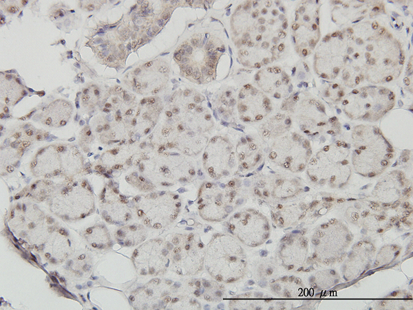 Immunoperoxidase of monoclonal antibody to SSH3 on formalin-fixed paraffin-embedded human salivary gland. [antibody concentration 1 ~10 ug/ml].