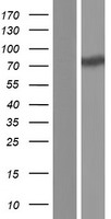 SSH3 Protein - Western validation with an anti-DDK antibody * L: Control HEK293 lysate R: Over-expression lysate