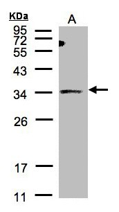 Sample (30 ug of whole cell lysate). A: HeLa S3. 12% SDS PAGE. ST3O / ST3GAL1 antibody diluted at 1:500