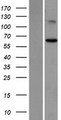 ST7 Protein - Western validation with an anti-DDK antibody * L: Control HEK293 lysate R: Over-expression lysate