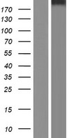 STAB2 / HARE Protein - Western validation with an anti-DDK antibody * L: Control HEK293 lysate R: Over-expression lysate