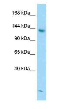 STAG2 antibody Western Blot of Jurkat.  This image was taken for the unconjugated form of this product. Other forms have not been tested.