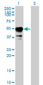 Western blot of STAM expression in transfected 293T cell line by STAM monoclonal antibody (M01), clone 2B11-1G1.