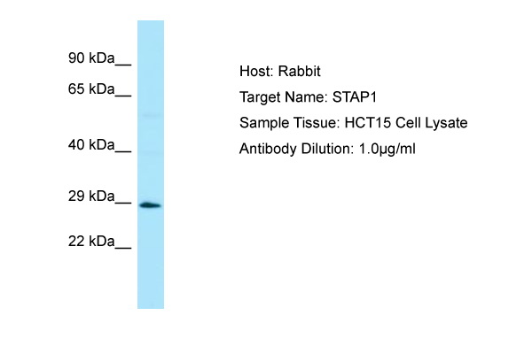 STAP1 / BRDG1 Antibody -  This image was taken for the unconjugated form of this product. Other forms have not been tested.