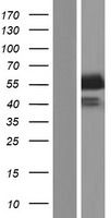 STAP2 Protein - Western validation with an anti-DDK antibody * L: Control HEK293 lysate R: Over-expression lysate