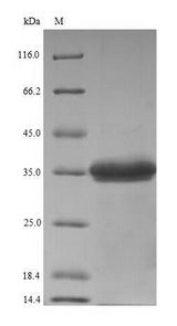 Gamma-hemolysin component C Protein - (Tris-Glycine gel) Discontinuous SDS-PAGE (reduced) with 5% enrichment gel and 15% separation gel.