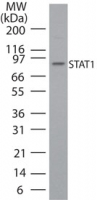 Western blot of STAT1 in HeLa cell lysate using antibody at 1 ug/ml.