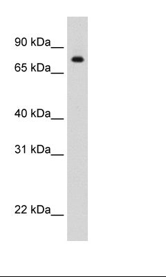 Recombinant STAT1 Protein Cell Lysate.  This image was taken for the unconjugated form of this product. Other forms have not been tested.