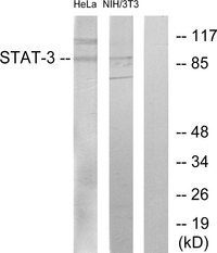 Western blot analysis of lysates from HeLa and 3T3 cells, using STAT3 Antibody. The lane on the right is blocked with the synthesized peptide.