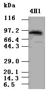 STAT5a antibody (4H1) at 1:500 dilution + lysate from 293T cells transfected with human Stat5a expression vector.