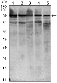 Western blot using STAT6 mouse monoclonal antibody against HEK293 (1), NIH/3T3 (2), MCF-7 (3), Raw246.7 (4) and PC-12 (5) cell lysate.