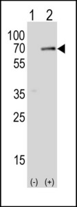 Western blot of SPAK (arrow) using rabbit polyclonal SPAK Antibody (A363). 293T cell lysates either nontransfected (Lane 1) or transiently transfected (Lane 2) with the SPAK gene.