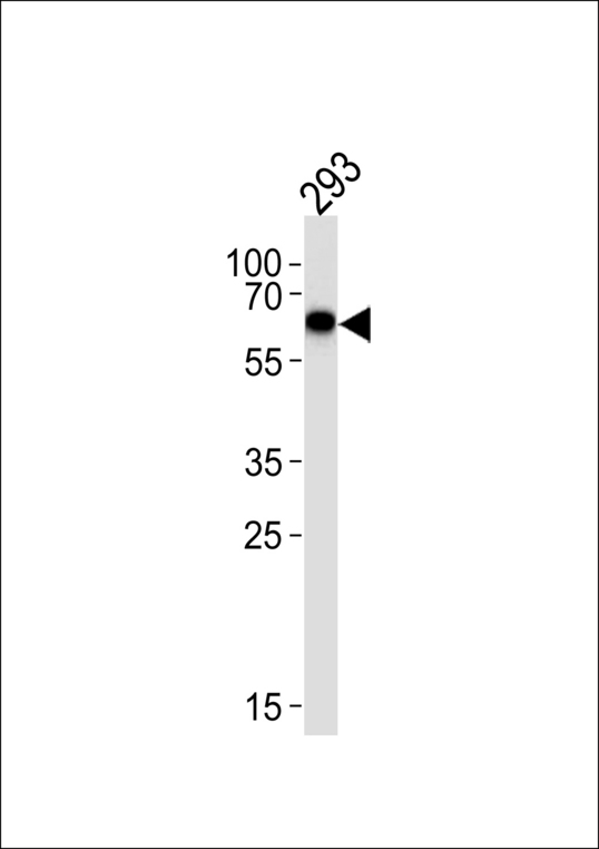 STK39 / SPAK Antibody - Western blot of lysate from 293 cell line, using SPAK Antibody (A363). Antibody was diluted at 1:1000 at each lane. A goat anti-rabbit IgG H&L (HRP) at 1:5000 dilution was used as the secondary antibody. Lysate at 35ug.