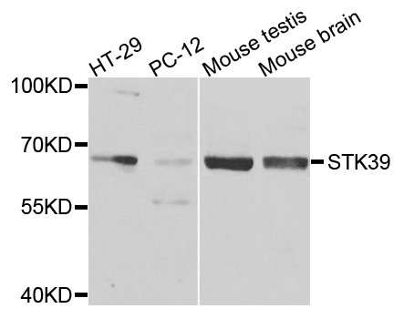 STK39 / SPAK Antibody - Western blot analysis of extracts of various cells.