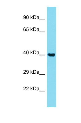 Western blot of Human A549 . STK40 antibody dilution 1.0 ug/ml.  This image was taken for the unconjugated form of this product. Other forms have not been tested.