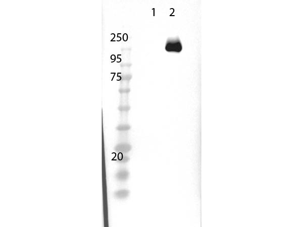 Streptococcus pyogenes CRISPR-associated endonuclease Cas9/Csn1 Antibody - Western Blot of rabbit Anti-Cas9 Antibody. Lane 1: 293T non transfected cell lysate. Lane 2: 293T Cas9 over expressed cell lysate. Load: 15µg per lane. Primary Antibody cas9 used at 1µg/mL using MB-070 overnight at 4°C. Secondary Antibody: goat anti-rabbit HRP at 1:40,000 for 30 min at room temp. Expect: 158kDa.