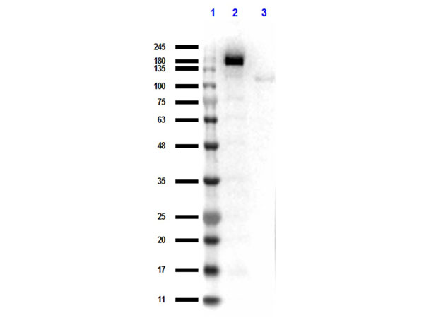 Streptococcus pyogenes CRISPR-associated endonuclease Cas9/Csn1 Antibody - Western Blot results of rabbit Anti-Cas 9 Antibody. Lane 1: Opal Prestained Molecular Weight Ladder Lane 2: HEK/293 Cas9 Over Expressing WCL. Lane 3: HEK/293 non Transfected WCL. Load: 10ul. Primary Antibody: Rabbit Anti-Cas 9 Antibody at 1µg/mL overnight at 4°C. Secondary Antibody: Goat anti-Rabbit HRP at 1:70,000 for 30min at RT. Blocking: BlockOut for 30 min at RT.