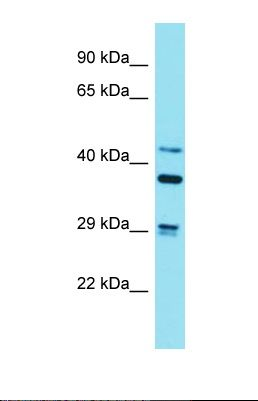 Western blot of Mouse Brain. Strn3 antibody dilution 1.0 ug/ml.  This image was taken for the unconjugated form of this product. Other forms have not been tested.