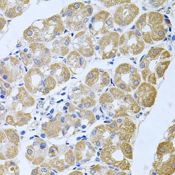 Immunohistochemistry of paraffin-embedded human stomach tissue.